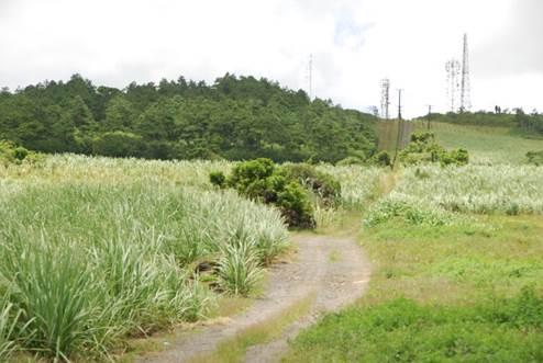 Sugar cane fields, Mauritius